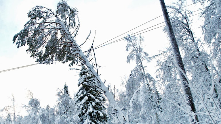 Ett snötäckt träd har fallit över en elledning.