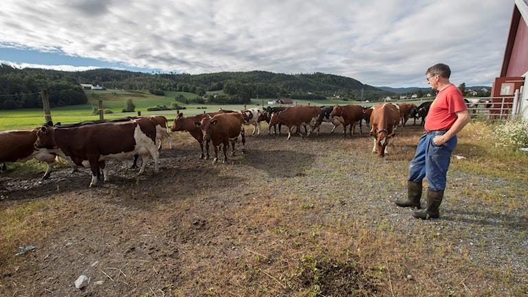 bonde står och tittar på sina kor