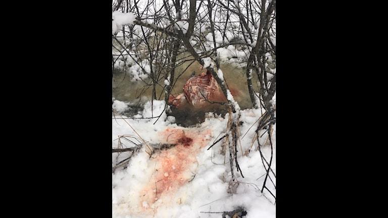 Kadavret som Stefan Strandqvist hittade och som han tror är fällt av ett lodjur.