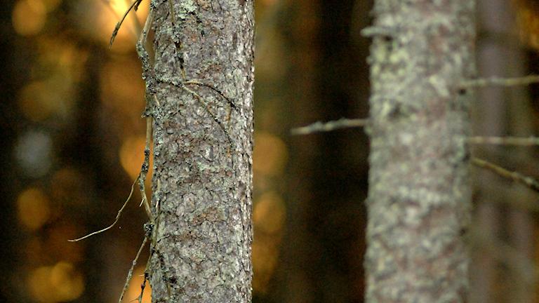 Två smala grå trädstammar i förgrunden och orange ljus i bakgrunden.