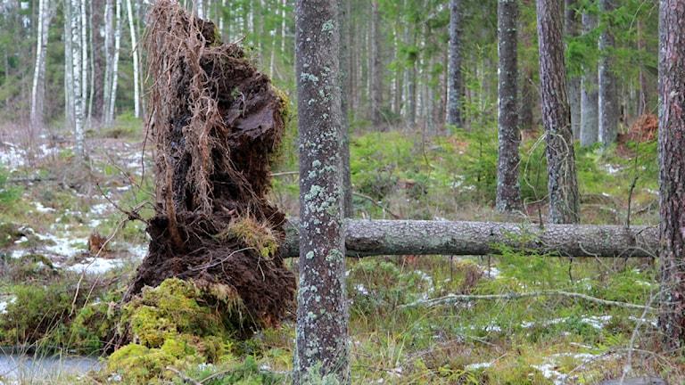 Rotvälta i skogen efter stormen Sven. Foto: Jonatan Nilsson/Sveriges Radio