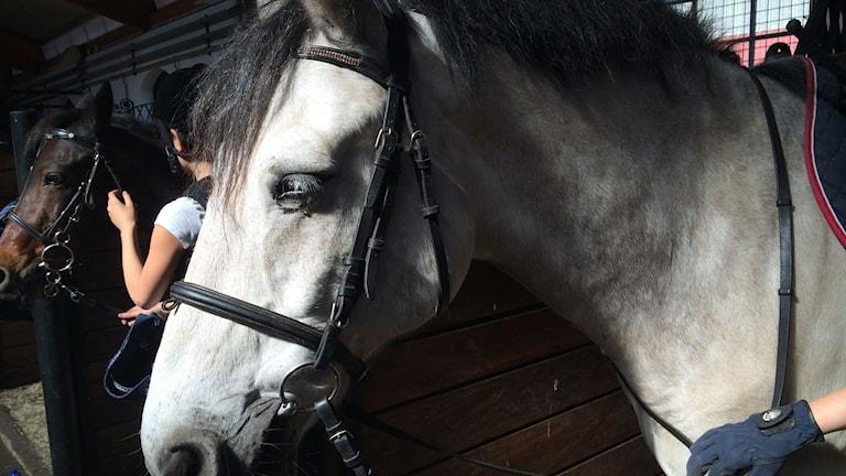 Hästar. Foto: Mari Strålman/Sveriges Radio