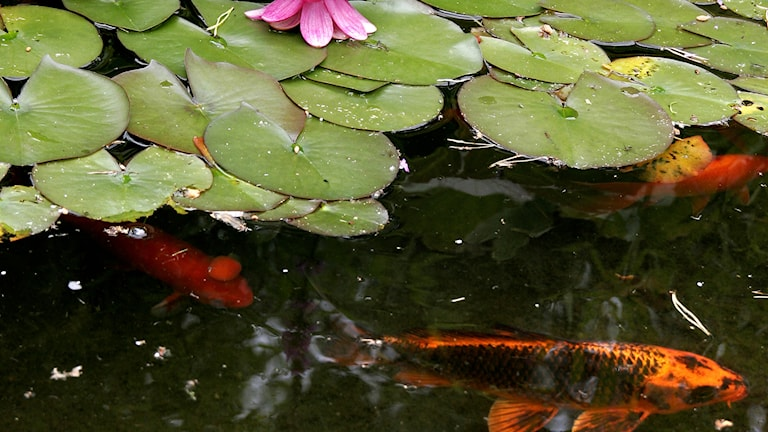Guldfisk i damm. Foto: Patrick Sörquist/TT