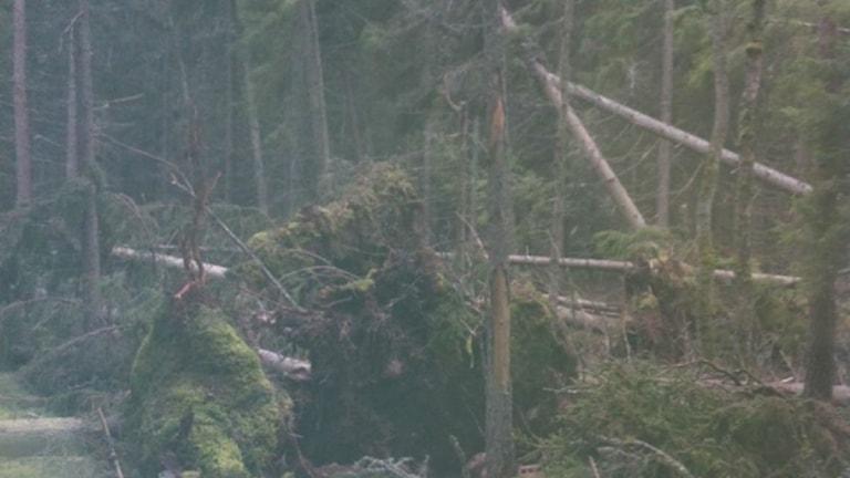 Okring 40 träd på Stig Edins skogsmark föll i stormen Egon. Foto: Eva Karlsson