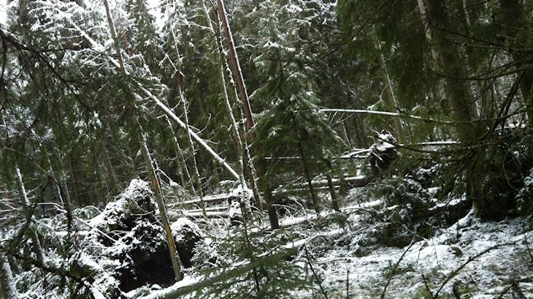 Skogsskador utanför Lekeryd efter stormen Egon. Foto: Alexandra Svedberg/Sveriges Radio.