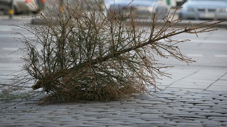 Utkastad julgran. Foto: Fredrik Sandberg/TT