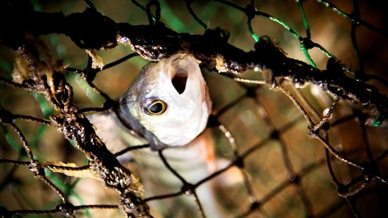 Fiskenät. Arkivbild, foto: David Magnusson/SvD/TT