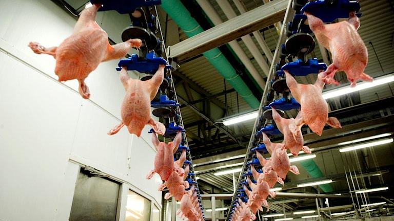 Allt fler smittas av campylobacter från kyckling.