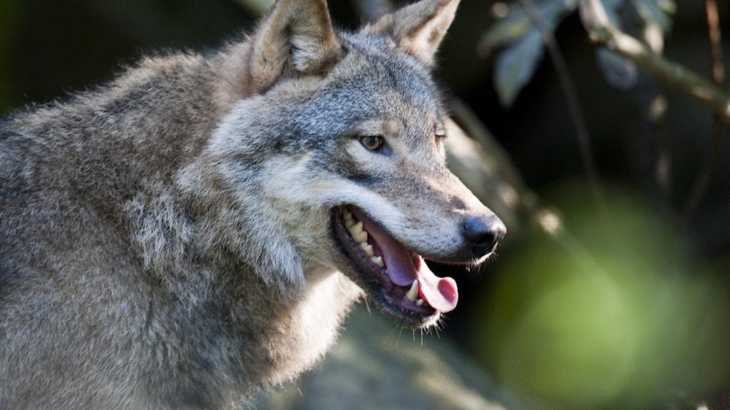 En varg i närbild i skogsmiljö.