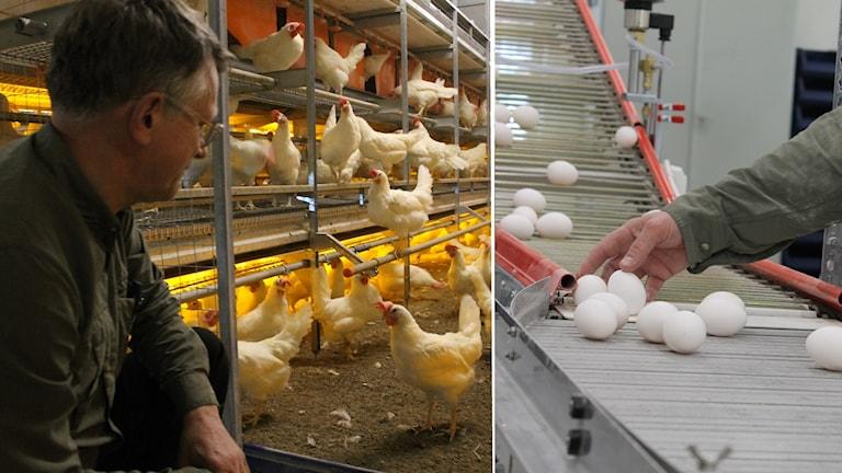 Montage: Lars Knutsson tittar till sina hönor, en hand samlar upp ägg på ett transportband.