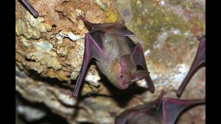 Det här är en vanlig fladdermus - den ovanliga ville inte vara med på bild! Foto: Erik Bjurström/SCANPIX