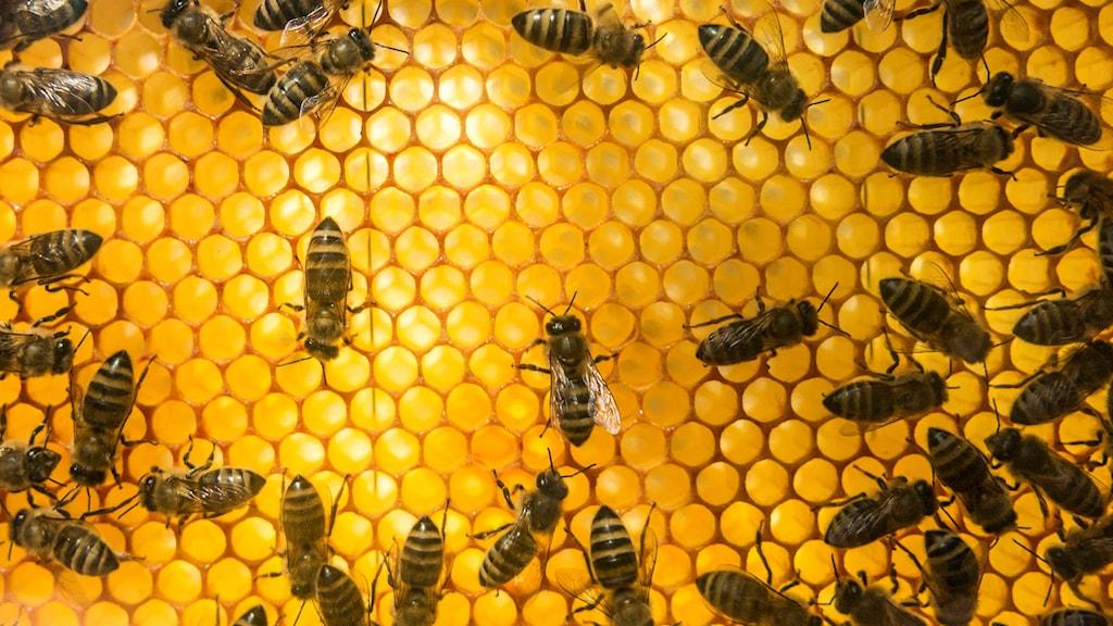 Närbild på bin.