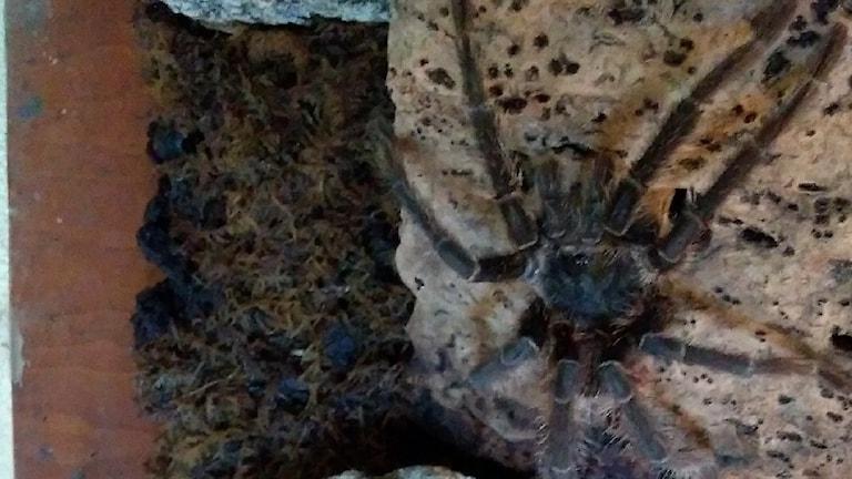 Spindeln Stig i sin bur på Kolmårdens Tropicarium.
