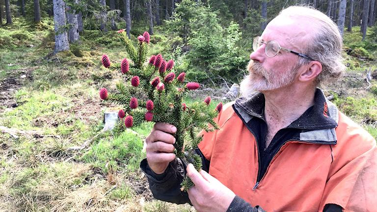 Man håller kvist med många röda-lila kottar.