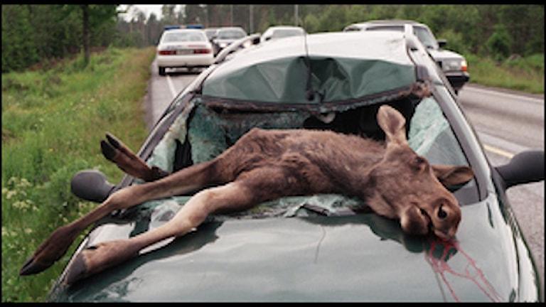 Trafikolycka med älg (foto: Scanpix)