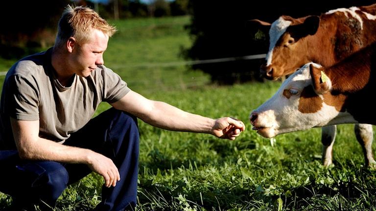 Marcus sitter på huk i gräset och sträcker fram handen mot en ko.