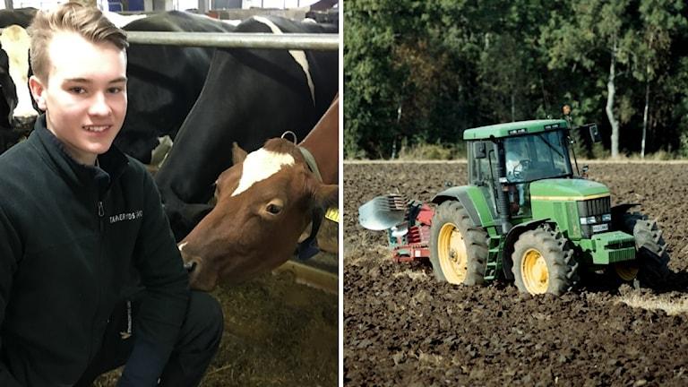 Melker med en ko bredvid en bild på en traktor.