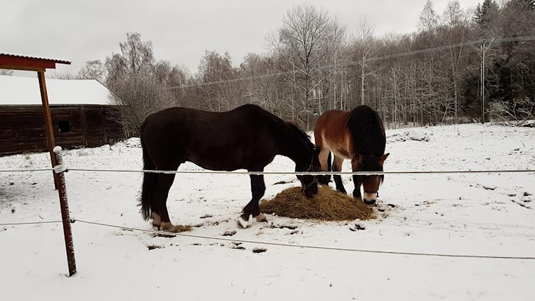Två hästar äter hö ute i snön.