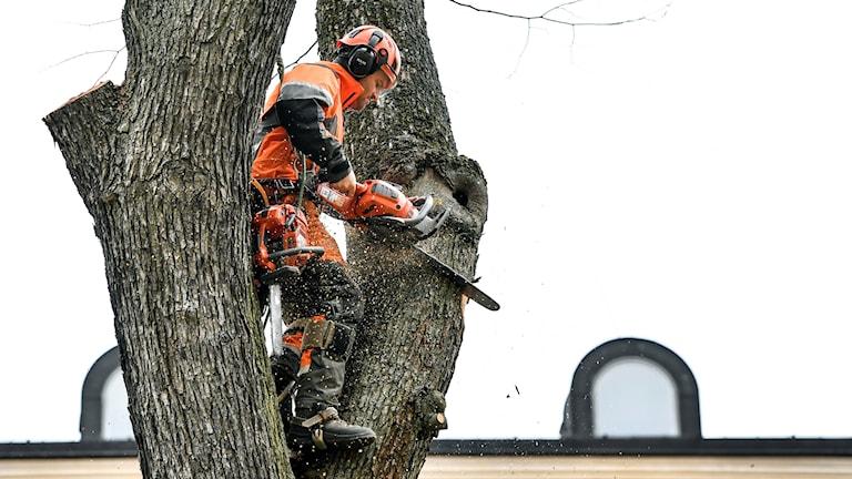 En arborist står i ett träd med en motorsåg.