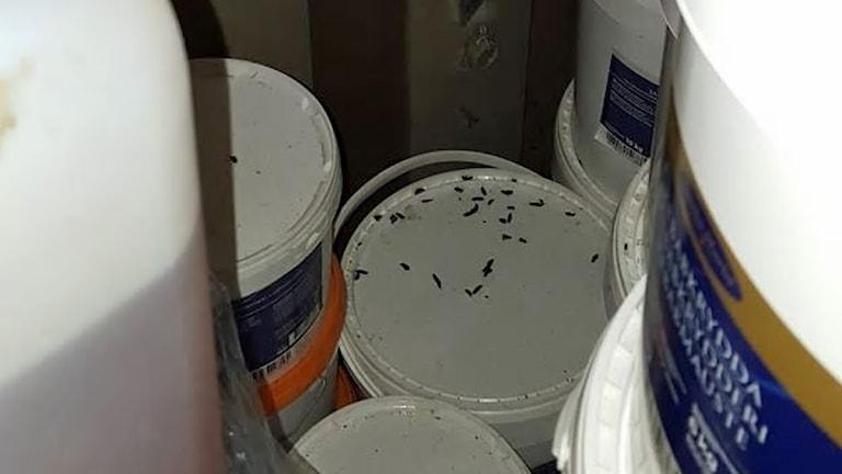 Råttspillning på hink.