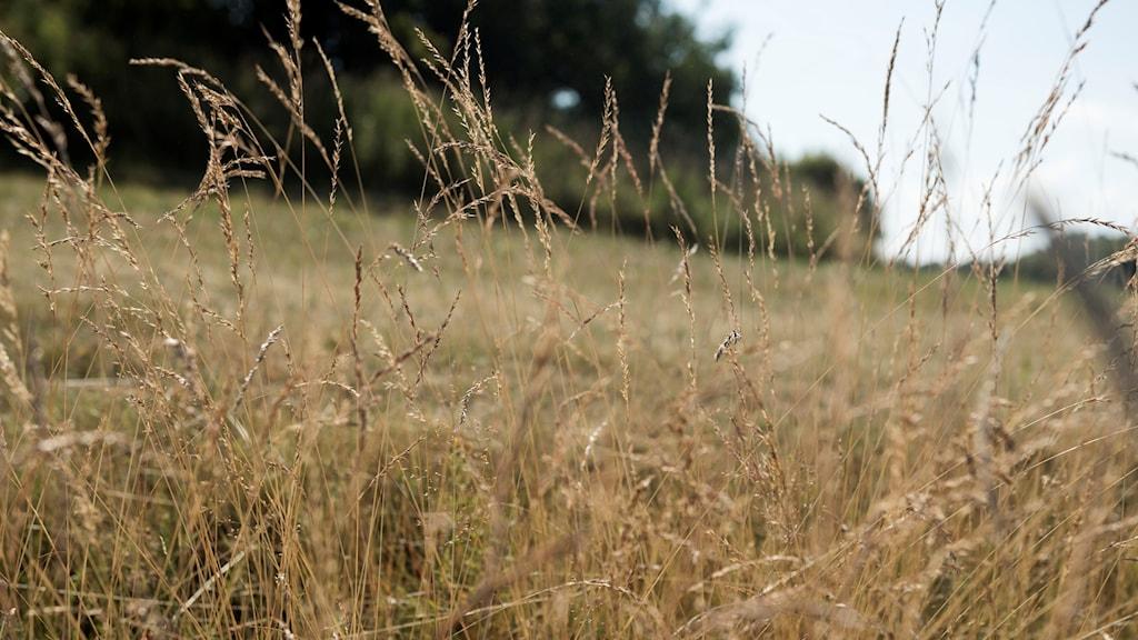 närbild på torrt gräs