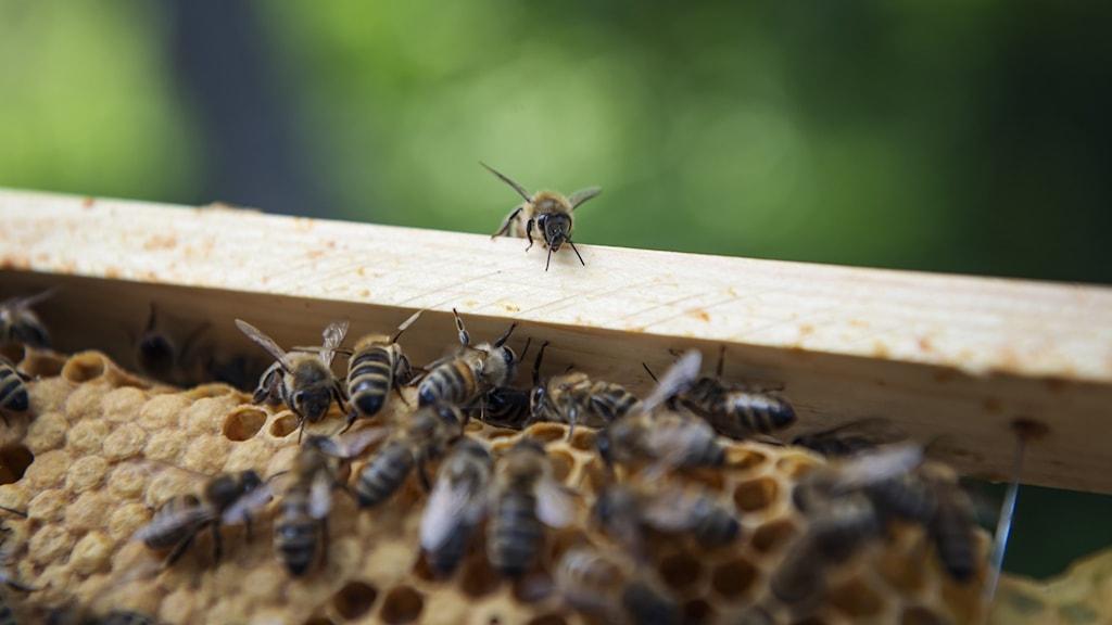 Många bin på en bräda.