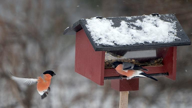 Fåglar vid ett fågelbord