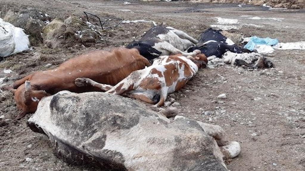 Flera döda kor ligger på marken.