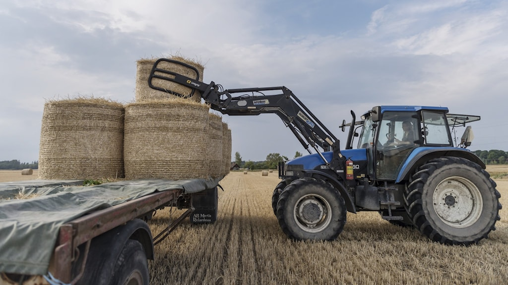 Traktor lastar halmbalar på ett släp.
