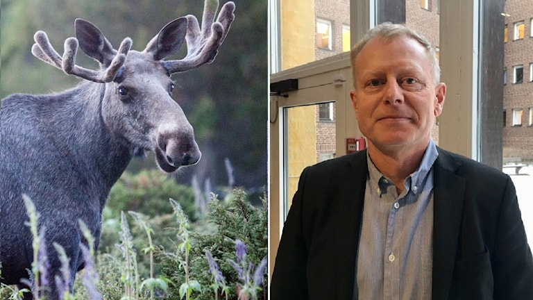 En bild på en älg och en bild på Håkan Henrikson, divisionsdirektör på Jordbruksverket.