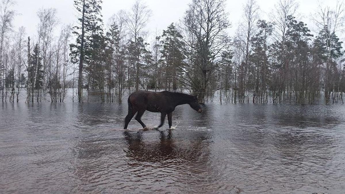En häst trampar runt i en översvämning.