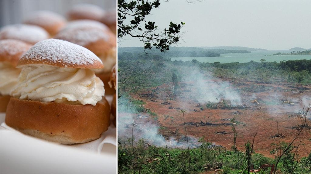 Montage. Till vänster en gräddig semla, till höger skövlad regnskog.