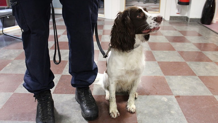 En vit-brun hund sitter bredvid benen på en polis.