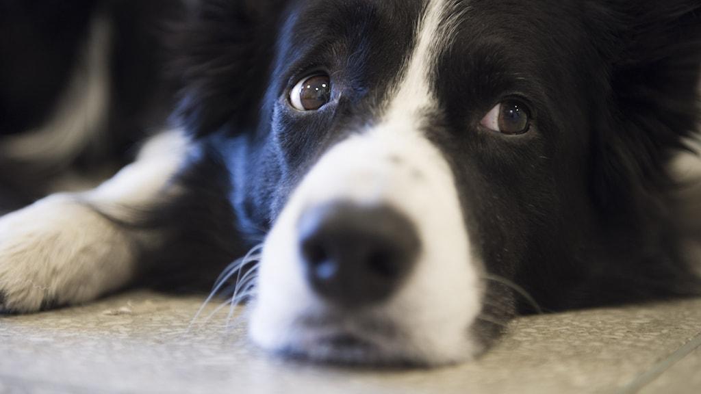 Närbild på en svart och vit hund som vilar hakan på golvet och tittar åt sidan.