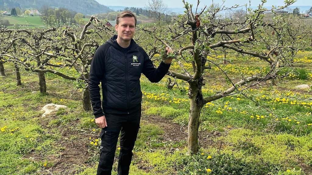 David Rudenstam står bland äppelträden på sin fruktodling.