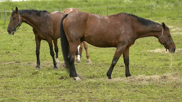 Hästar som står och betar i en hage.