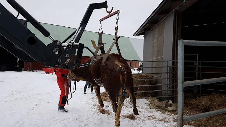 Ko räddades ur gödselbrunn