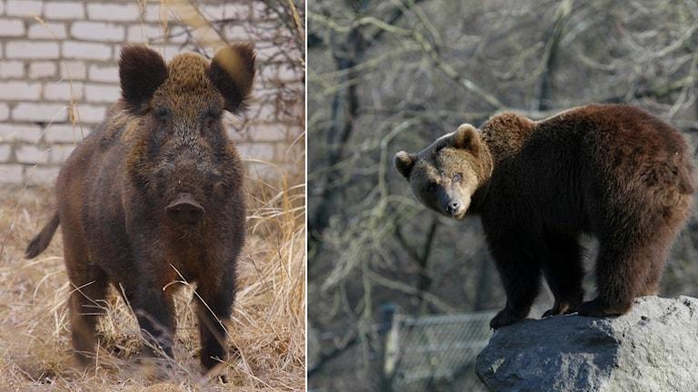 Vildsvin och brunbjörn.