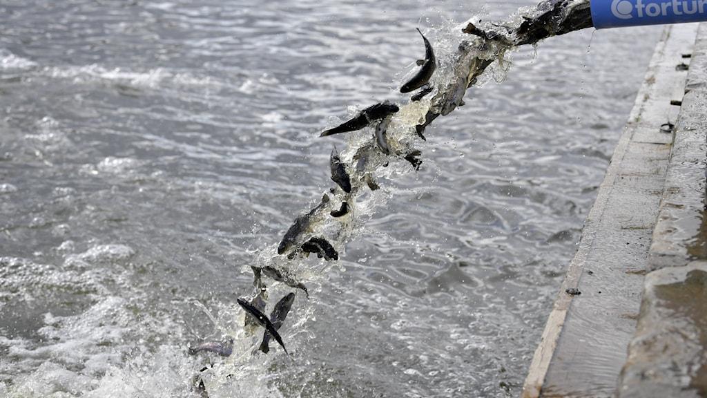 Fisk släpps ut i havet