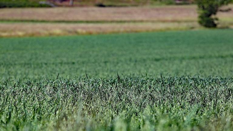 Ett fält med gröda. Foto: Lars-Gunnar Olsson/Sveriges Radio.