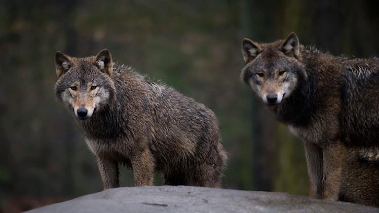 Två vargar som står på ett berg. Foto: Jonas Ekströmer/TT.