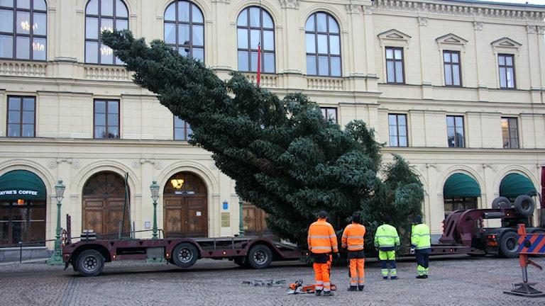 Julgran som reses upp. Foto: Örjan Bengtzing/Sveriges Radio.