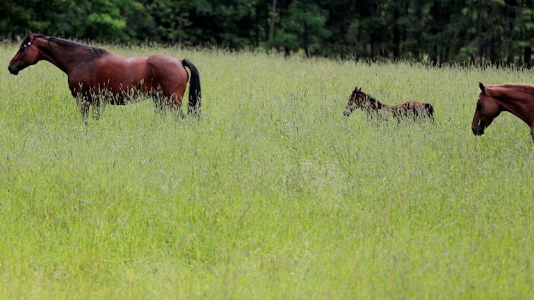hästar på äng. Foto: Lise Åserud / NTB scanpix / TT /