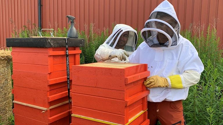 Admir Vegar och Edin Sehalic, biodlare med skyddskläder vid röda bikupor. Foto: Annika Ström/Sveriges Radio