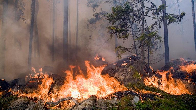 I dag utförs naturvårdsbränning på Brattforsheden. Arkivbild: Ralf Bergman/Scanpix.