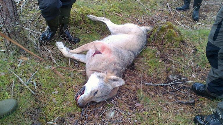 Död varg. Foto: Länsstyrelsen i Värmland