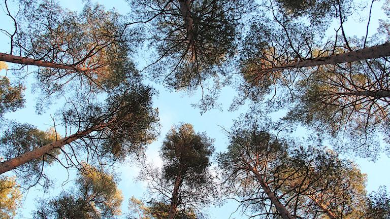 Trädtoppar mot en blå himmel. Foto: Lars-Gunnar Olsson/Sveriges Radio.