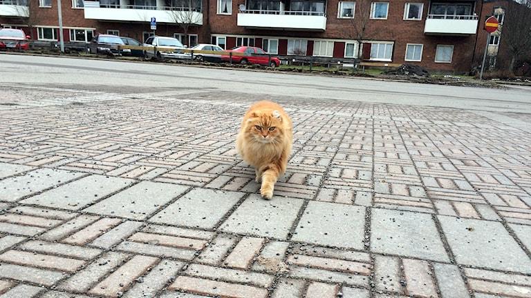 Katten Sigge. Foto: Sara Johansson/Sveriges Radio.