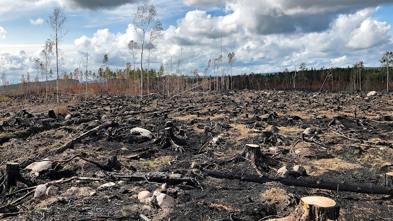 Ett kalhygge efter en skogsbrand. Foto: Erik Lööf/Skogsstyrelsen.