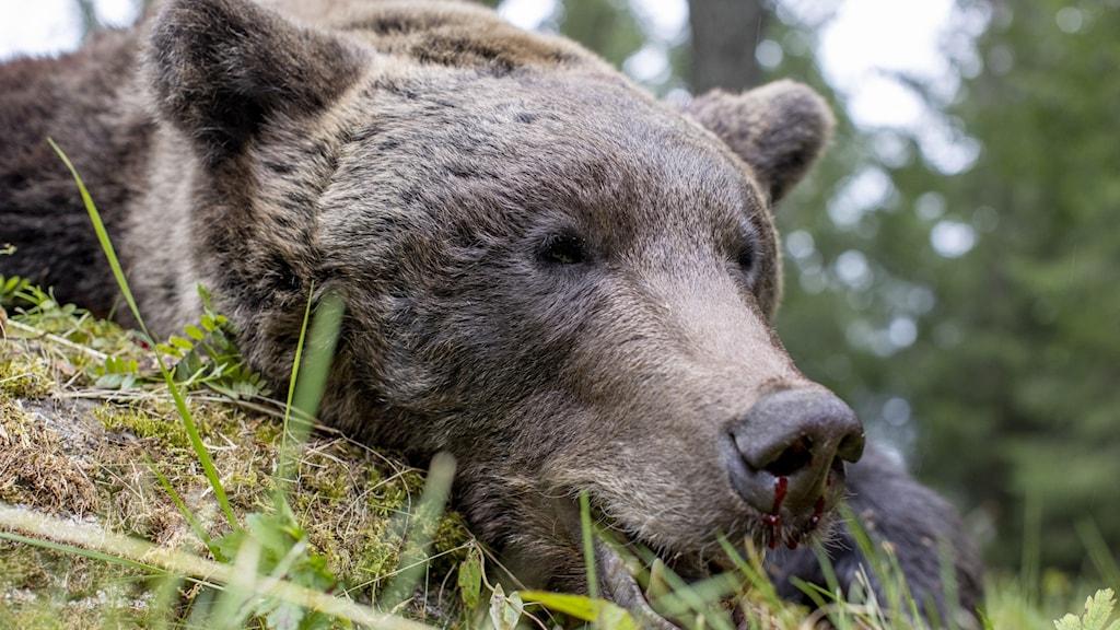 En fälld björn. Foto: Adam Ihse / TT